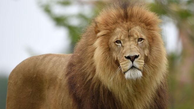A Lion Escaped from Kano Zoological Garden