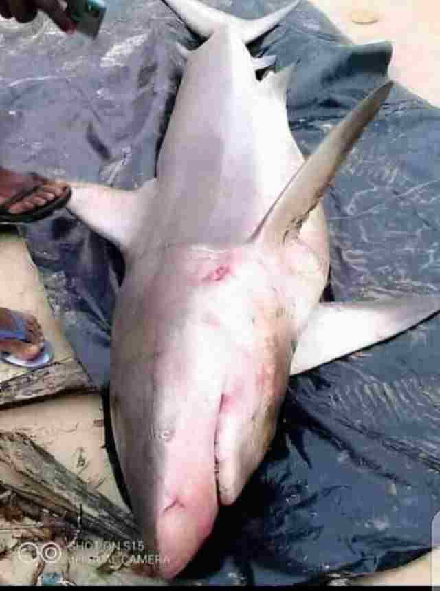 Fisherman catches shark in Rivers state where a blue Marlin fish was caught weeks ago