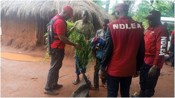 Kill Me Rather Than Destroy My Cannabis Farm – Suspect Begs NDLEA In Kogi