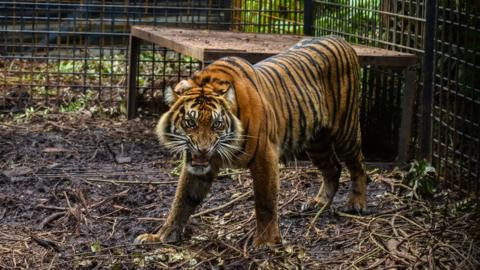 Zookeeper, monkey and ostrich mauled to death after two tigers escape zoo facility